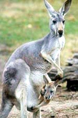 بچه کانگورو